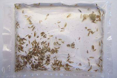 100+ Live Fish Food Culture - (Hyalella azteca) Gammarus Scuds Shrimp Amphipods