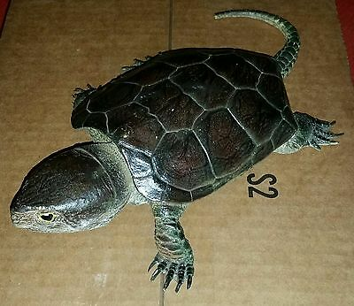 AAA Snapping Turtle Plastic Animal Model Toy Replica
