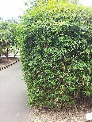 6 x Green Hedge Clumping Bamboo plant. Screening, hedge.