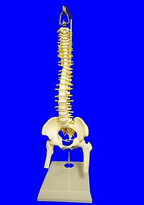 NEW Half Size Human Spine with Pelvis Femur Heads Model,Medical, Anatomical UK