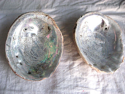 """2 Old Green Abalone Sea Shell Mother of Pearl XL 8.5"""" Jewelry Nautical Craft A+"""