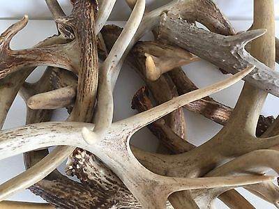 3 Lbs. Real Raw Decorative Deer Antlers 100% Natural Whitetail Buck Horns