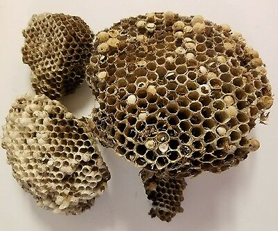 All Natural Paper WACO, TEXAS Wasp Nest , School Science Projects,Crafts, Arts