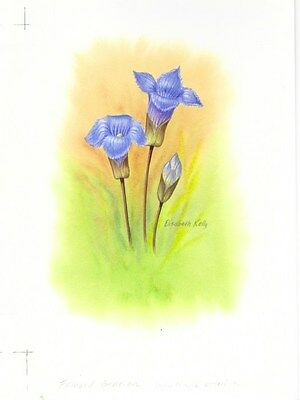 Production Artwork - Fringed Gentian