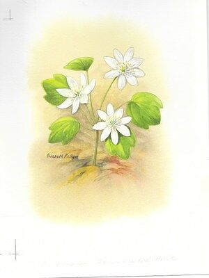 Production Artwork - Rue Anemone