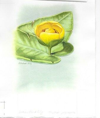 Production Artwork - Indian Pond Lily