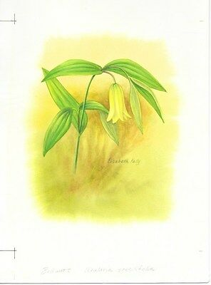 Production Artwork - Sessile Bellwort