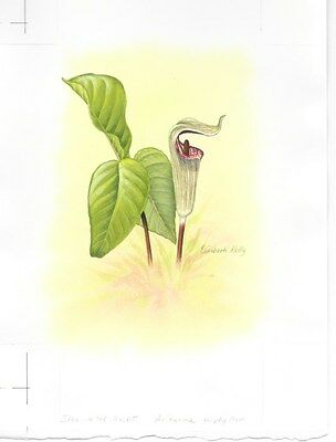 Production Artwork - Jack-In-The-Pulpit