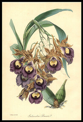 Orchid  Galeandra Baueri 1848 Sir Joseph Paxton Original Hand-Colored Lithograph
