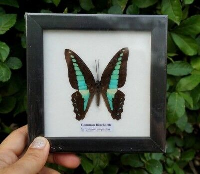 Real Framed Butterfly Display insect Taxidermy in Frame Collectible Gift Blue