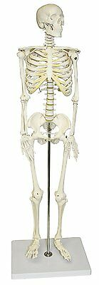 Human Anatomical Anatomy Skeleton Medical Model Stand Proportional 3-Feet New