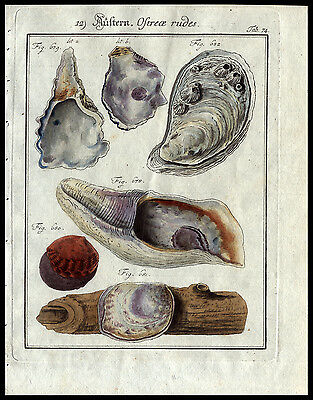 Oysters Marine Biology Friedrich Wilhelm Martini 1785   Copper Plate Engraving