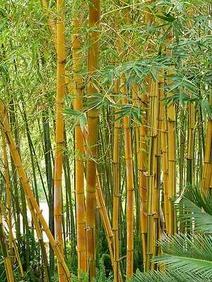 FOUR x YELLOW BAMBOO PHYLLOSTACHYS 2l POTTED 5-7ft Multistemmed Screen Hedge