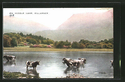 alte AK Killarney, On Middle Lake, Kühe