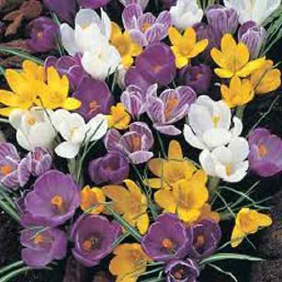 "100 X ""mixed Crocus"" Spring Flowering Corms/bulbs Size 6/7. Early Order."