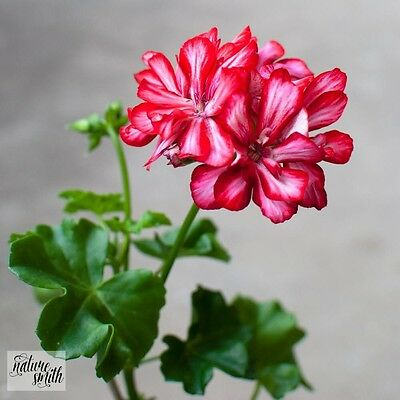 Mexica Ruby Ivy Pelargonium Cutting - Ivy Geranium Red White Stripe Flowers
