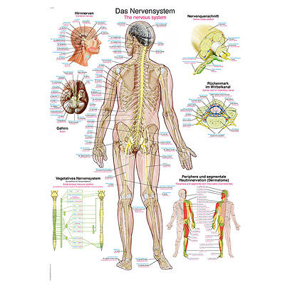 """Anatomical Wall Chart """" The Nerve System """"Training Anatomy Medicine Posters"""