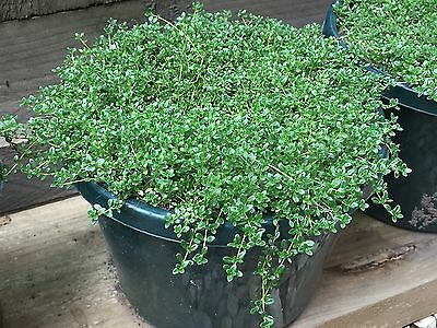 Herb White Thyme / Ground cover in pot