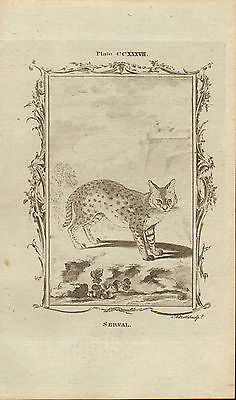 """1785 copper engraving  -  buffons natural history.  """"  female ocelot   """""""