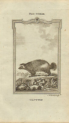 """1785 copper engraving  -  buffons natural history.  """"  glutton  """""""