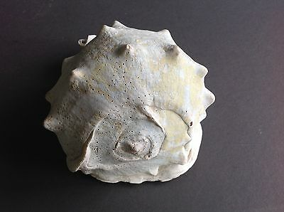 Gorgeous Natural Helmet Conch Shell