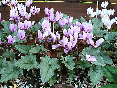 Cyclamen Hederifolium Silver Cloud Pink Flws Qty *100* Seeds