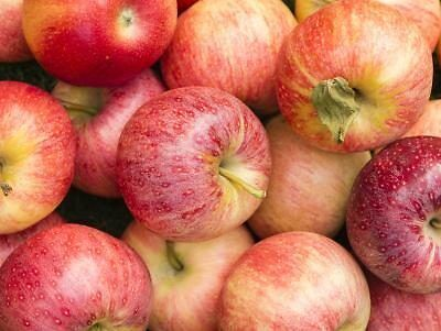 GALA APPLE SEEDS -SUPER TASTY, SWEET AND JUICY. (10 SEEDS IN PACK +2 extra).
