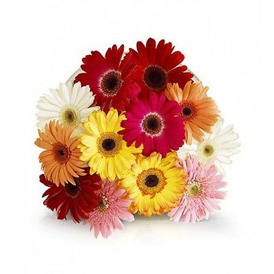 12 Mix Gerbera Bouquet Fresh Flowers Delivered Nationwide Personalised Message
