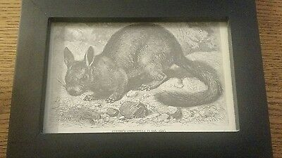 3 Chinchilla Drawings Framed Vintage