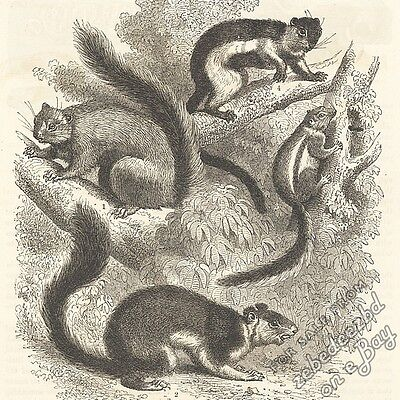 Squirrels: antique 1866 engraving print: picture drawing nature, wild animal art