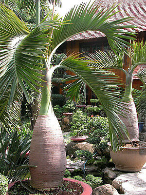 10Pcs Bottle Palm Tree Seeds -Tropical Ornamental