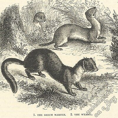 Weasel & Beech/Stone Marten: antique 1866 engraving print: animal nature drawing