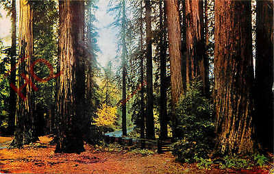 Postcard--Muir Woods National Monument, Fall Leaves In The Redwoods