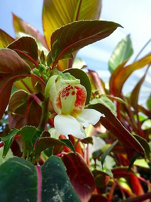 Impatiens morsei - Rare Impatiens species!!