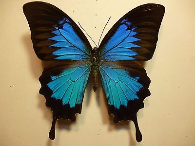 Real Dried Insect/Moth/Butterfly Non Set Large Blue Male Papilio ulysses A to A-