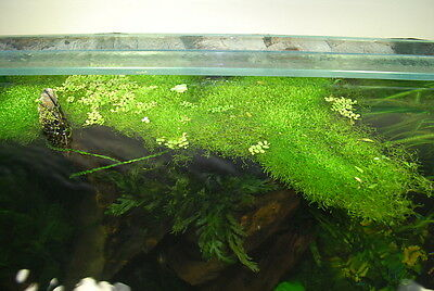 mousse Riccia fluitans portion 10x10cm plante aquarium