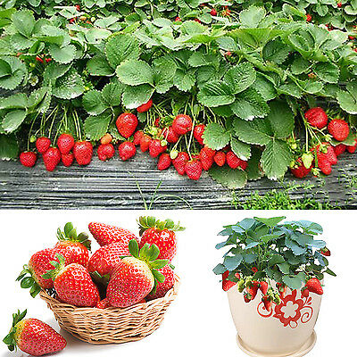SUP 100 Pcs Red Strawberry Climbing Strawberry Fruits Plant Seeds Garden Seeds