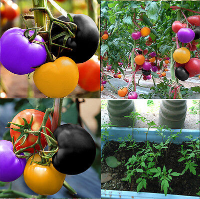 100Pcs Rare Rainbow Tomato Seeds Ornamental Potted Vegetable Home Garden HK36