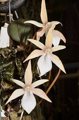 Aerangis punctata - flowering sized species orchid