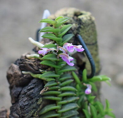 Schoenorchis scolopendria - flowering sized species orchid