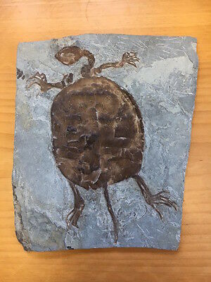 Fossil of small turtle