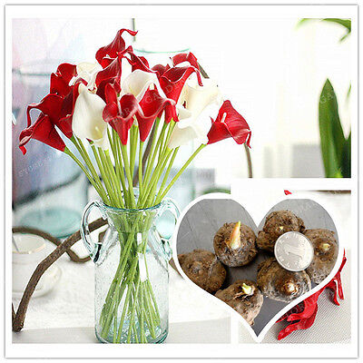 True Red Calla Lily Bulbs (Not Calla Lily Seed), Elegant Noble Flower - 2 Bulbs