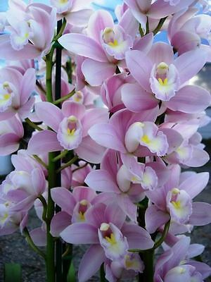 Cymbidium Orchid. Without Peer 'Soft Touch'  -  3 Plants in Community Pot