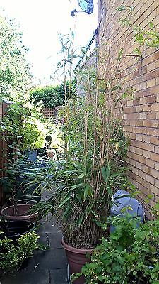 Bamboo plant over 6ft high Potted 45lt pot collection from Swanley Kent