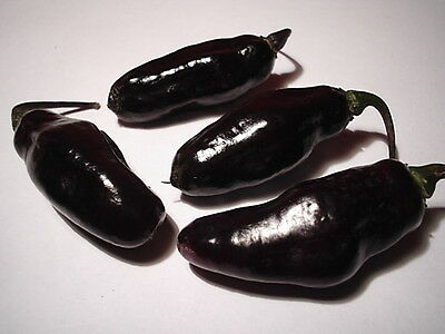 Samen Chili BLACK NIGHT - milder schwarzer Laternenchili