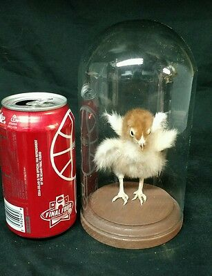 4 Winged Chick Freak, Taxidermy,sideshow Gaff,oddity,deformed,halloween,ooak,2