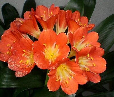 2 pcs yellow clivia seeds plants bonsai garden flower seed decorative flowers