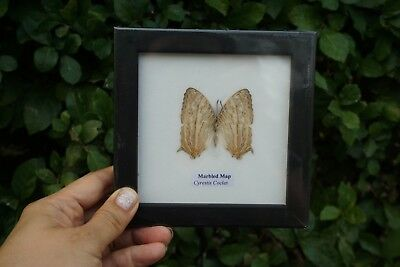 Collectible Taxidermy Real 1 Butterfly Insect Display in Wood Frame Gift Marbled