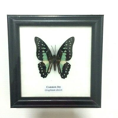 Collectible Taxidermy Real 1 Butterfly Insect Display in Wood Frame Gift Common