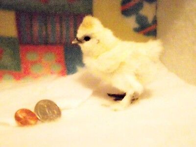 12+ SQ Bearded Silkie Hatching Eggs